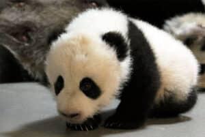 Osos-panda-zoologico-de-Toronto-1