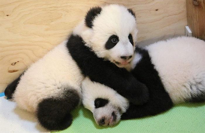 Tras 4 meses, así lucen los primeros osos pandas nacidos en suelo canadiense