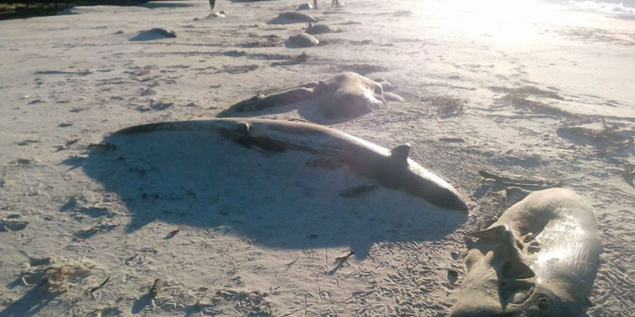 Descubren nuevo varamiento masivo de ballenas en el sur de Chile
