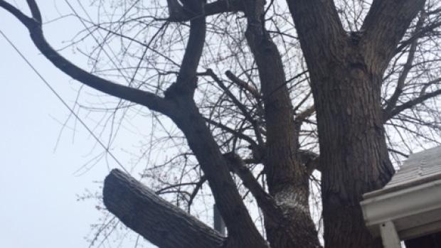 Disputa de vecinos en Toronto pone en riesgo árbol de cien años de edad
