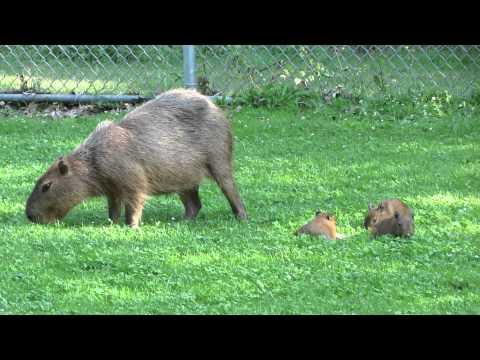 Pareja de capibaras que huyeron del Zoológico de High Park  hoy son orgullosos padres
