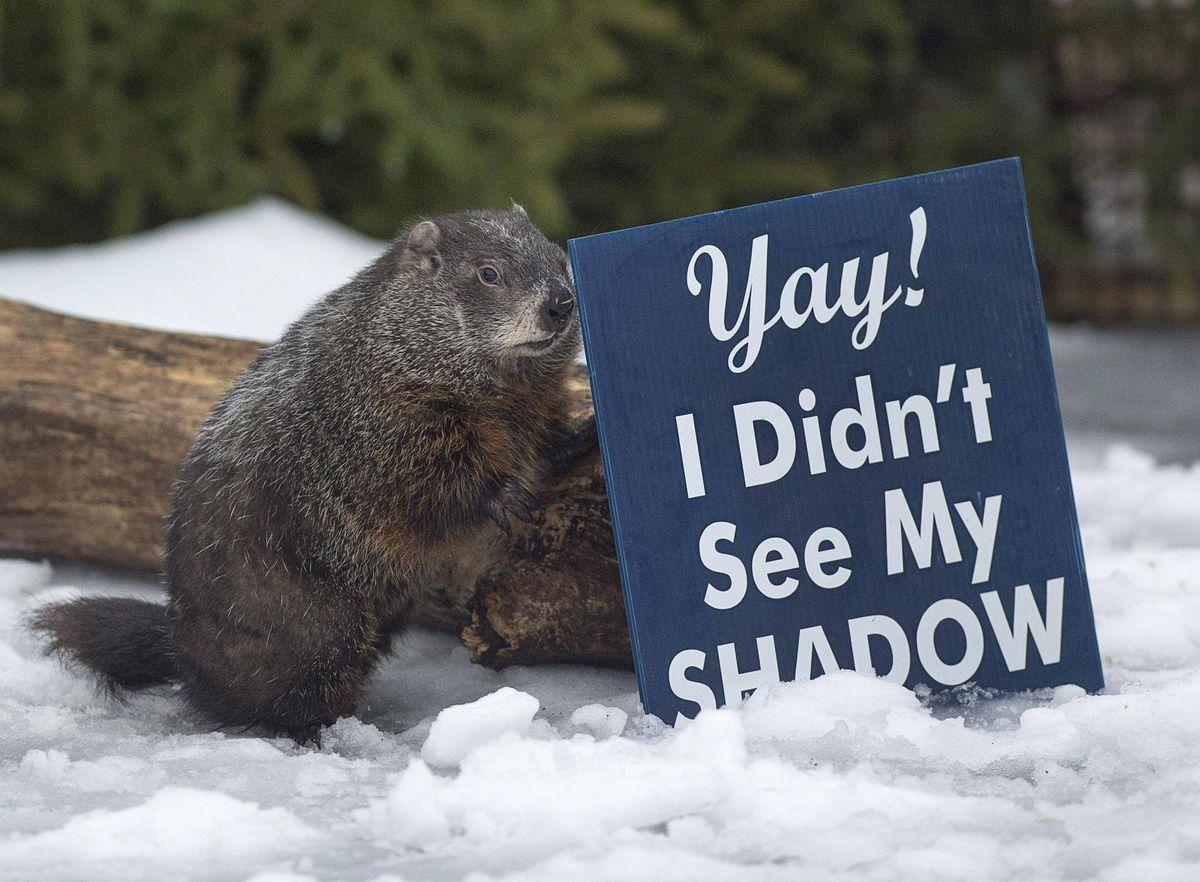 Polémica entre marmotas, Sam de Nueva Escocia predice una primavera temprana. Willie de Ontario indicó 6 semanas más de invierno