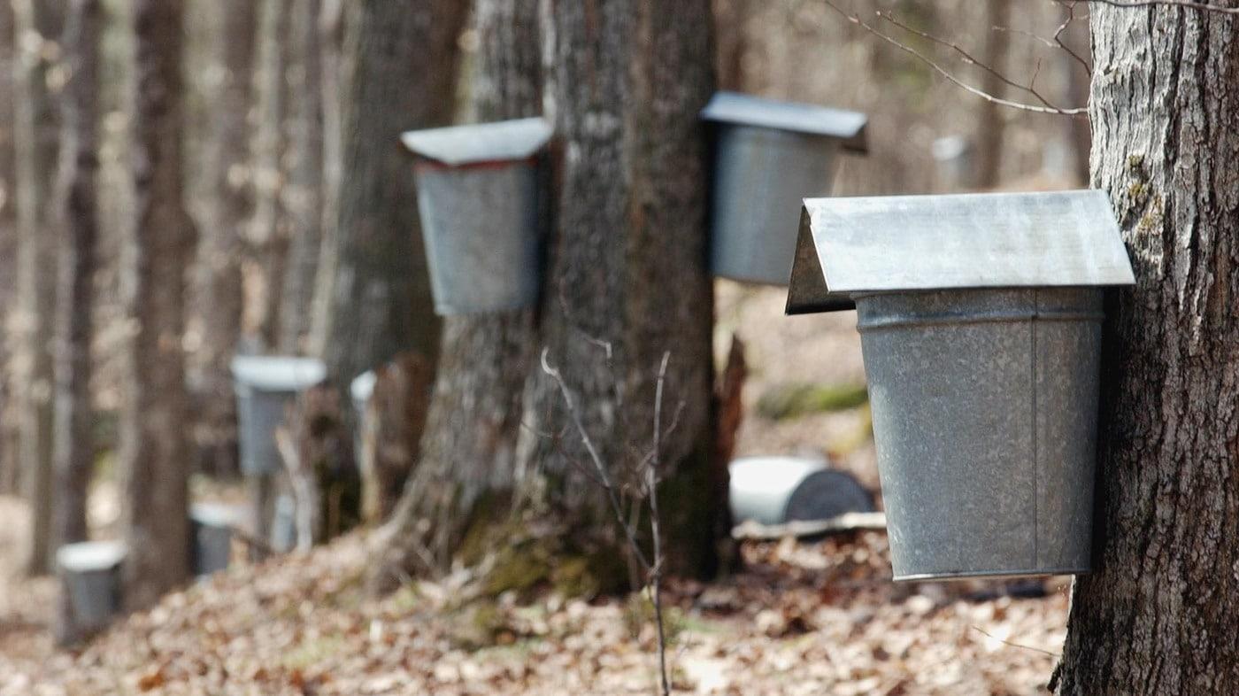 Temporada de miel de maple comienza más temprano en las provincias marítimas